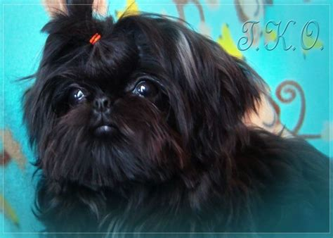 windsong shih tzu 1000 ideas about shih tzu breeders on shih tzu shih tzu for sale and