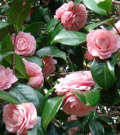 camelia fiori camelia theaceae como curar y cultivar las plantas de