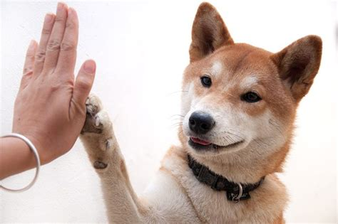 puppy high five teach a how to give a high five cuteness