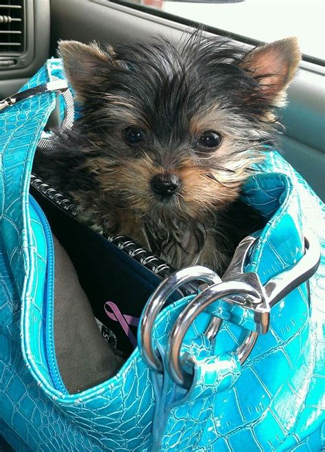 purses for yorkies 25 best ideas about terrier for sale on yorkie dogs for sale