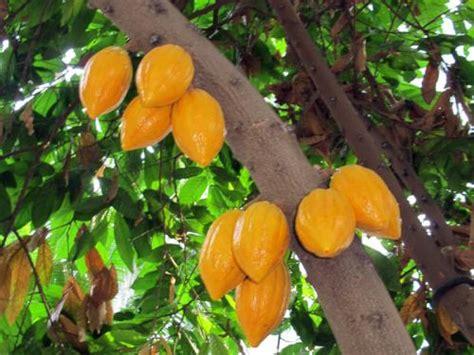cacao seed pods united states botanic garden