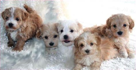 maltipoo puppies for sale maltipoo puppies for sale maltese poodle mixed breed