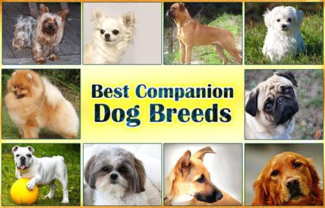 best companion dogs best companion breeds did you pets