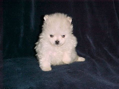 puppies for sale in apple valley ca 25 best ideas about apple valley california on apple valley ca central