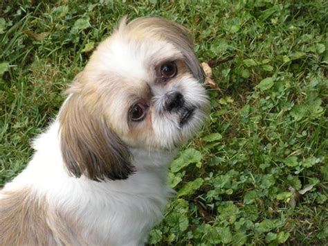 shih tzu puppies for adoption in ky adopt prince on dogs shih tzu and