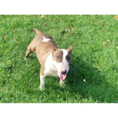 pug breeders rochester ny best bull terriers bull terrier breeder in rochester new york