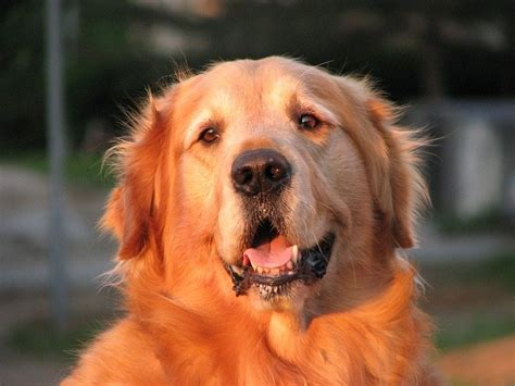 are golden retrievers smart 5 amazing facts about golden retrievers