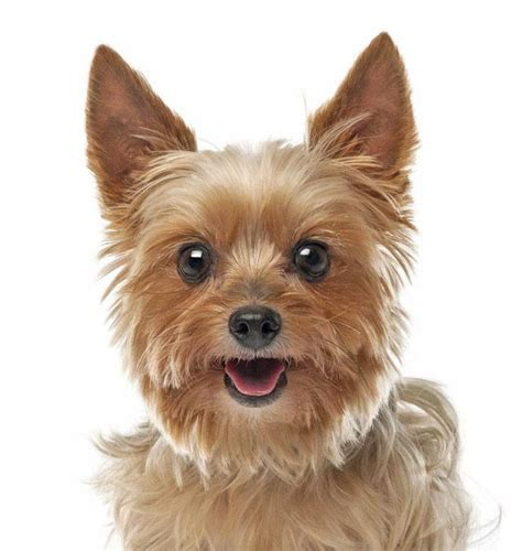 yorkie names for females yorkie names for your