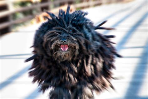 what were pugs bred for lions amazing dogs dogster