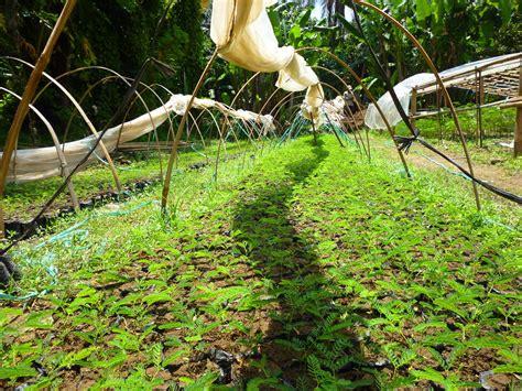 Jual Bibit Sengon Di Semarang jual bibit sengon di timor tengah utara jual bibit tanaman unggul