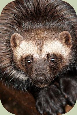 recognizing wolverine habitat
