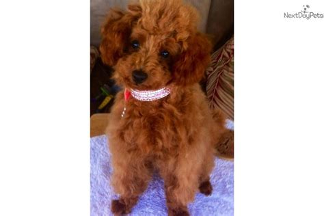 pomeranian for sale calgary maltese pomeranian poodle mix for sale in arcade new york new local breeds picture