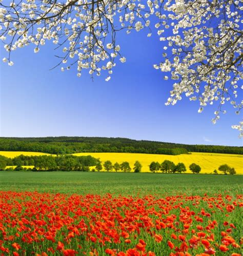 il papavero fiore papavero il fiore dei prati donnad