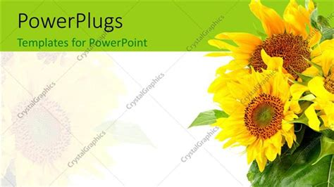 Powerpoint Template A Number Of Sunflowers With White Background 28099 Sunflower Powerpoint Template