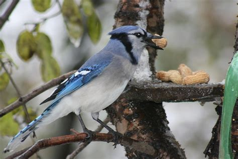 blue jay eating peanut photograph by paula brown