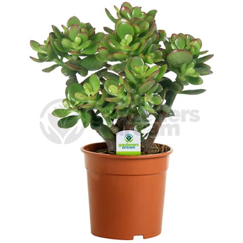 tree plant crassula ovata 1 plant house office live indoor pot