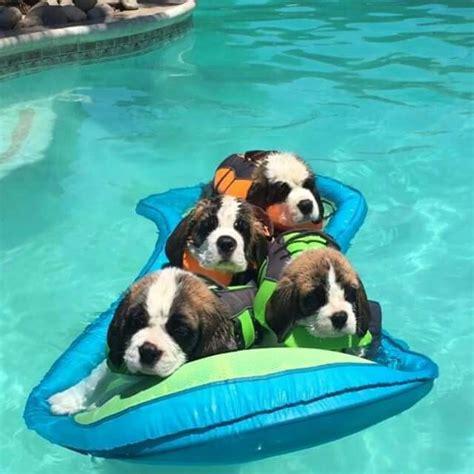 st bernard puppies for sale in nc se pinterests topplista med de 25 b 228 sta id 233 erna om st