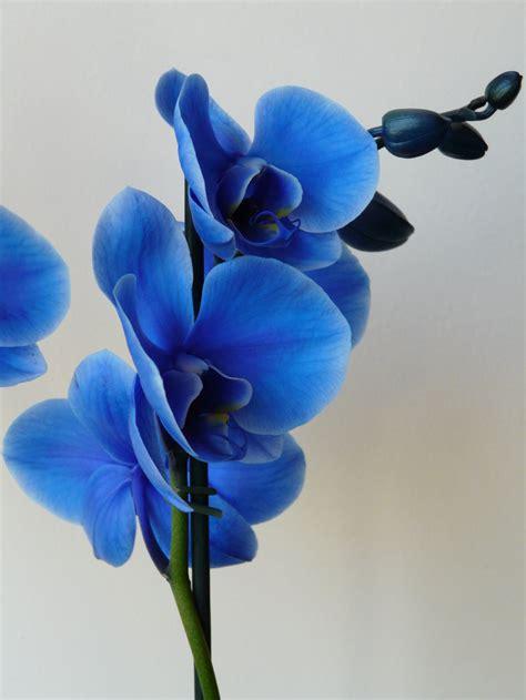 blue orchid eletragesi blue orchids images