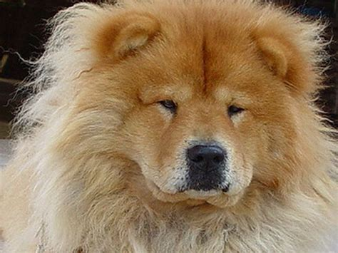 how much are chow chow puppies cinnamon chow chow puppies car interior design