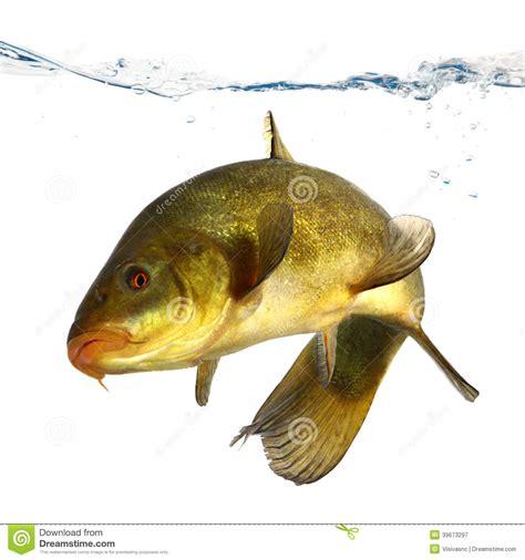 farbige fische die frei karpfen schleie schwimmen