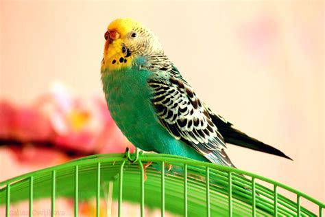Budgerigar Wallpapers Backgrounds