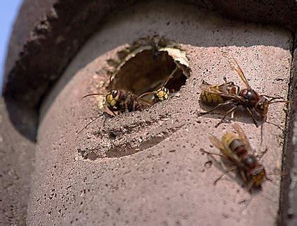 calabroni nel camino api vespe e calabroni
