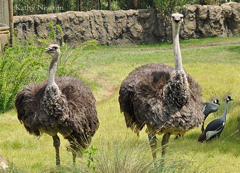 ostrich cincinnati zoo botanical garden