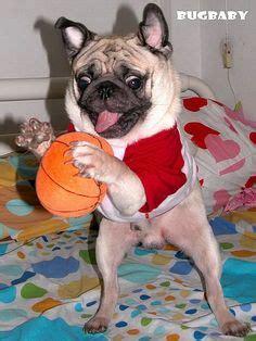 pug basketball pugs on pug breeders pug puppies and pug