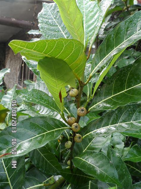 photography  dr ernie plants ficus hauili ficus