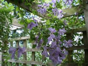Good Climbing Plants For Pergolas by Climbing Plants For Your Pergola