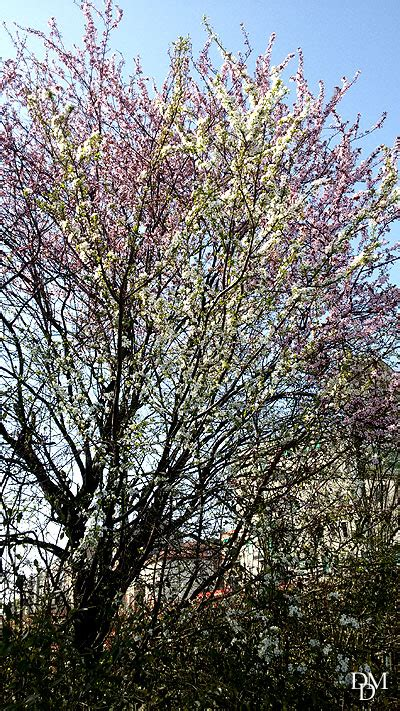 alberi fioriscono in primavera primavera fioriscono gli alberi bicolori fiori e foglie