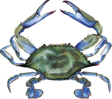Blue Cross Blue Shield maryland blue crab clipart 23