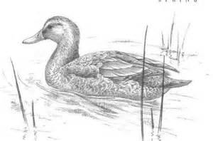 mallard duck sketch eend vogels pinterest mallard