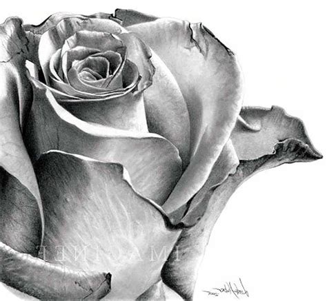 Pencil Drawings Charcoal Drawings And Art Galleries Rose | photos 3d pencil drawings of roses drawing art gallery