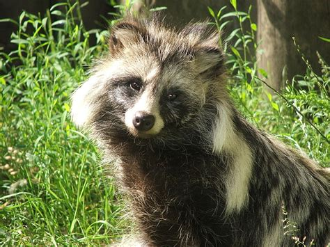 kills raccoon stop killing raccoon dogs to make hats forcechange
