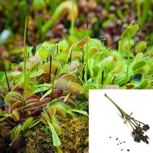 Fleischfressende Pflanzen Samen 4311 fleischfressende pflanzen samen fleischfressende pflanzen
