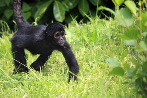 black monkey black monkey free stock photo domain pictures