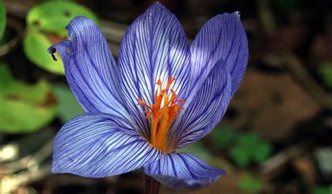 fiore croco croco crocus vernus crocus vernus bulbi croco