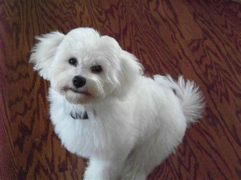 mt havanese 98 best ideas about havanese haircut on sheds yorkie and shirts