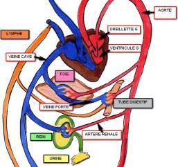 anatomie rein