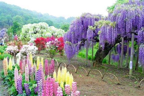 wisteria flower tunnel japan wisteria flower tunnel in japan anime amino