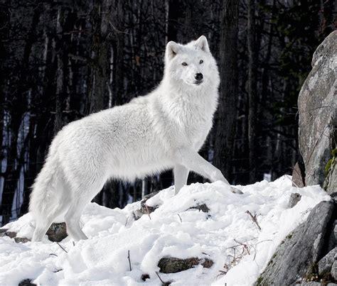 imagenes de animales lobos lobo blanco en la nieve im 225 genes y fotos