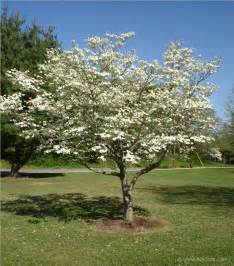 Flowering Dogwood Tree - flowering dogwood tree