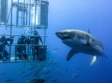 great white shark attacks cage great white shark attacks tourists during shark cage