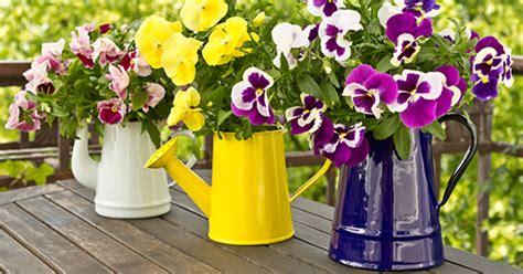 viole pensiero in vaso violette come coltivarle greenstyle