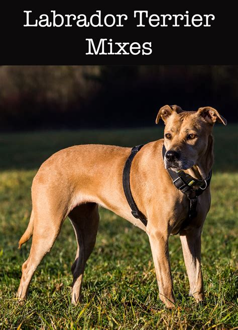 lab terrier mix puppy lab terrier mix what to expect from this diverse cross