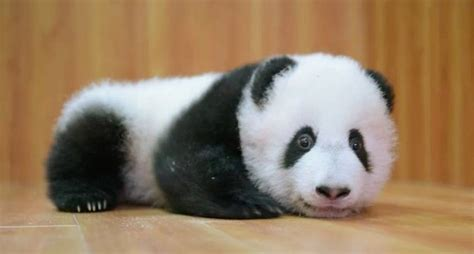 Baby Panda One listen to squeaking baby pandas and see how china is