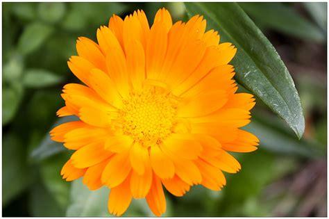 fiore di calendula fiori e piante dalla a alla z agrumi anemone astro
