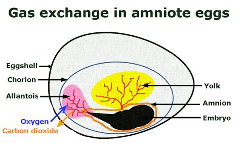 diagram of an amniotic egg image from http breatheornot files 2012 05