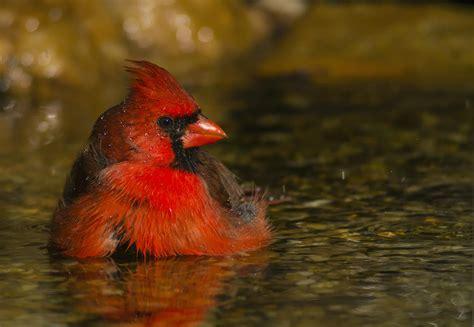 Cardinal Bird Images
